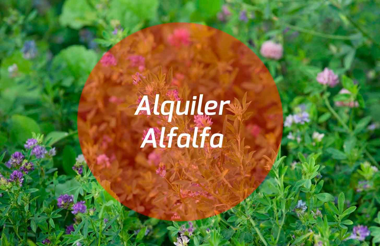 alquiler-alfalfa